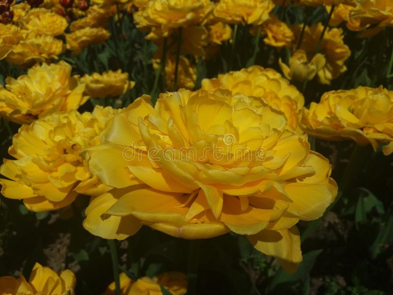 De gula tulporna arkivbild