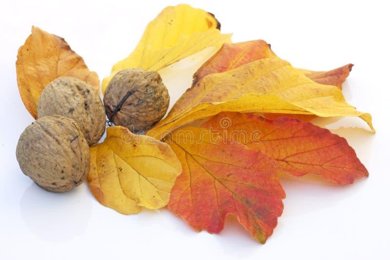 De gulle giftnoten en bladeren van de daling stock afbeeldingen
