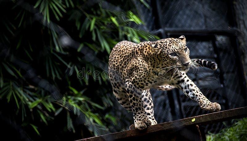 De gunst van een luipaard stock foto's