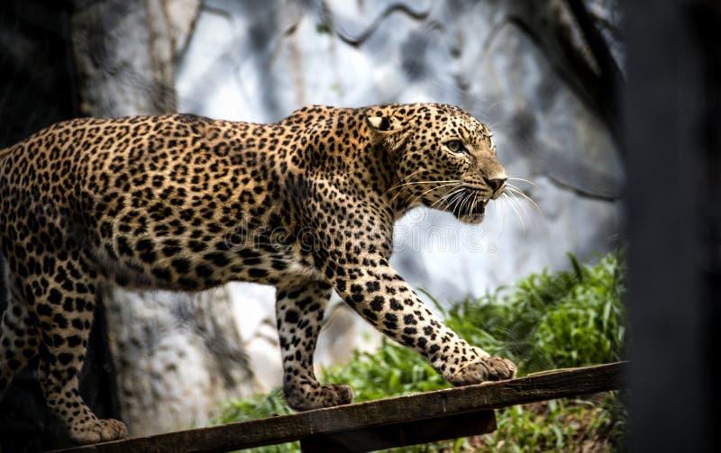 De gunst van een luipaard 2 stock foto