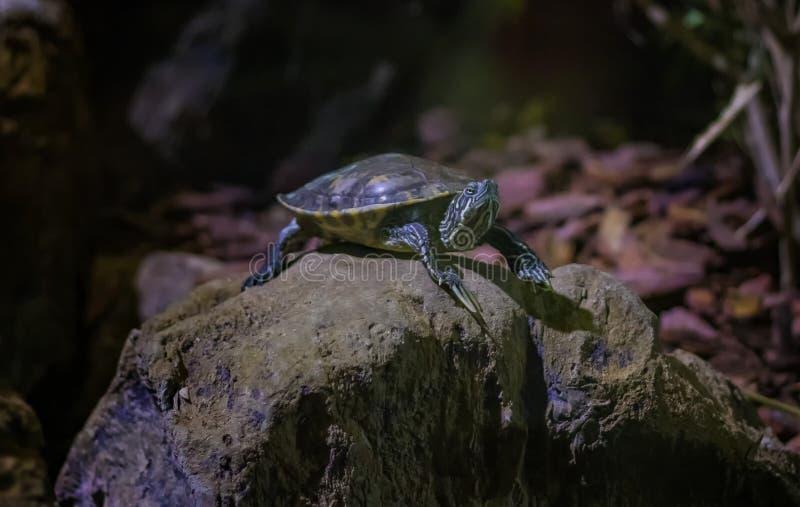 De härliga elegansna för den sköldpaddaTrachemys scriptaen är en av den mest älskade arten av sötvattens- sköldpaddor i världen arkivbilder