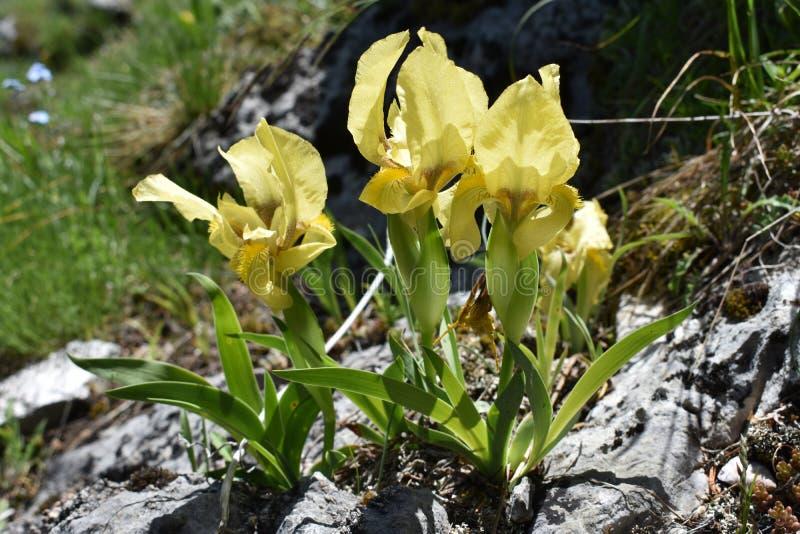 De härliga lösa gul svärdsliljablommorna i blom arkivfoto
