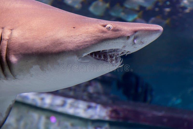 De haai Carcharias taurus van de zandtijger royalty-vrije stock afbeelding