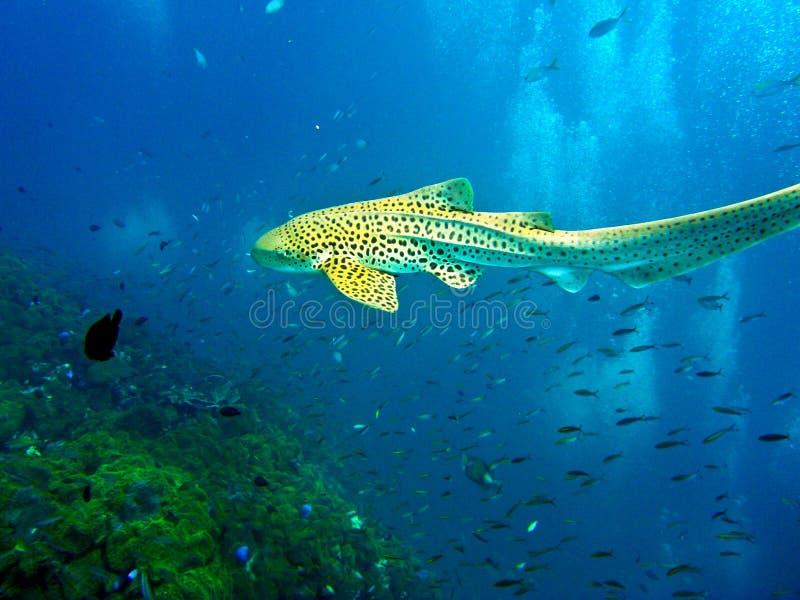 De haai die van de luipaard in blauw water zwemt stock afbeeldingen