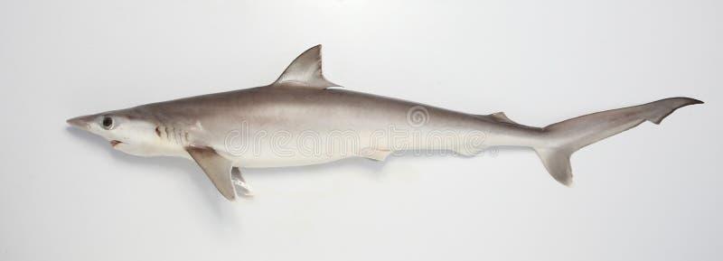 De haai op snuffelt rond