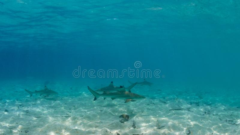 De haai van de Blacktipertsader, Carcharhinus-melanopterus Misool, Indonesië stock foto's