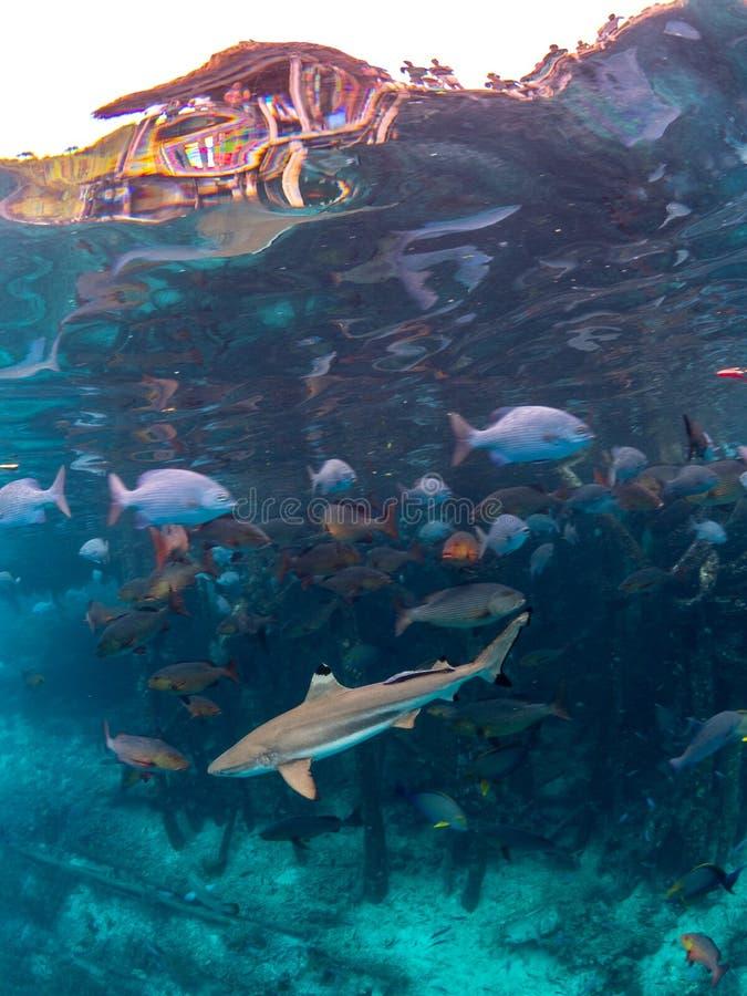 De haai van de Blacktipertsader, Carcharhinus-melanopterus Misool, Indonesië stock foto