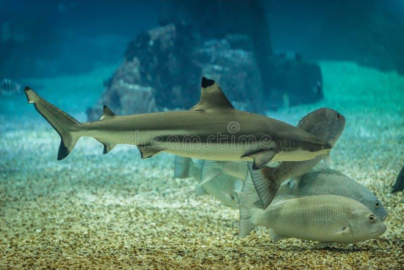 De haai van de Blacktipertsader in oceanarium stock afbeeldingen
