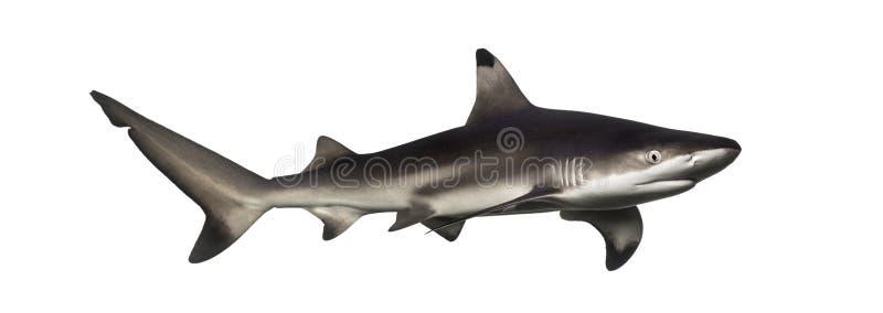 De haai van de Blacktipertsader, Carcharhinus-melanopterus stock afbeeldingen