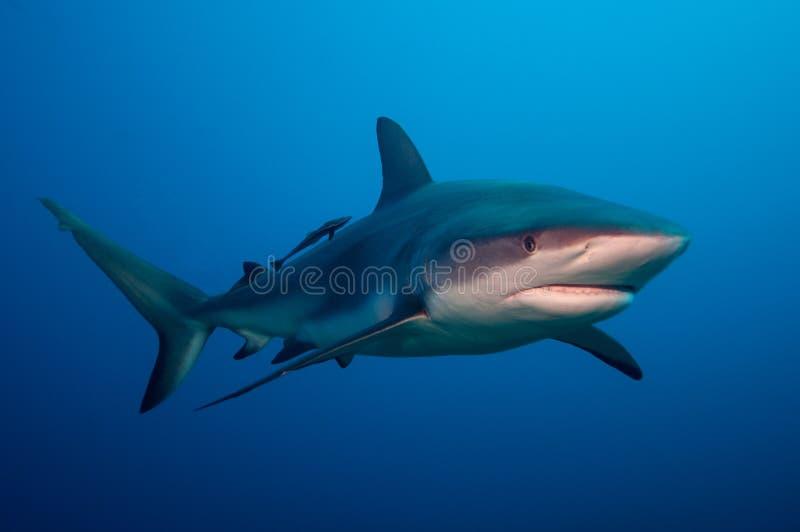 De haai van de ertsader royalty-vrije stock foto's