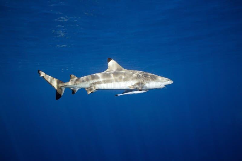 De Haai van de Ertsader van Blacktip stock foto's