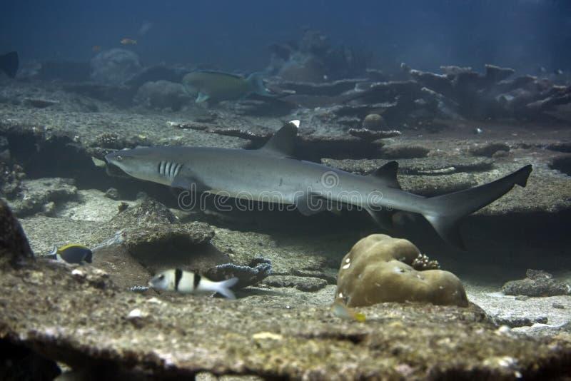 De Haai van de Ertsader van Whitetip royalty-vrije stock afbeelding