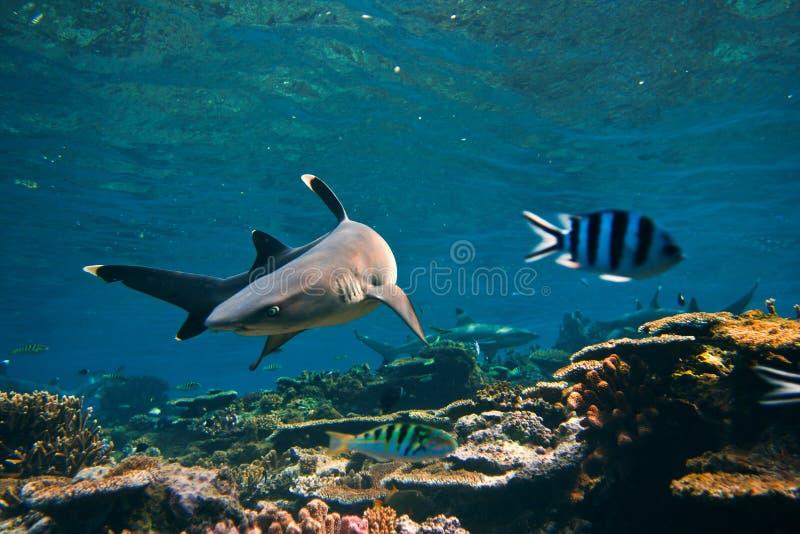 De Haai van de Ertsader van Whitetip op de ertsaderdraaien aan de kant royalty-vrije stock afbeelding