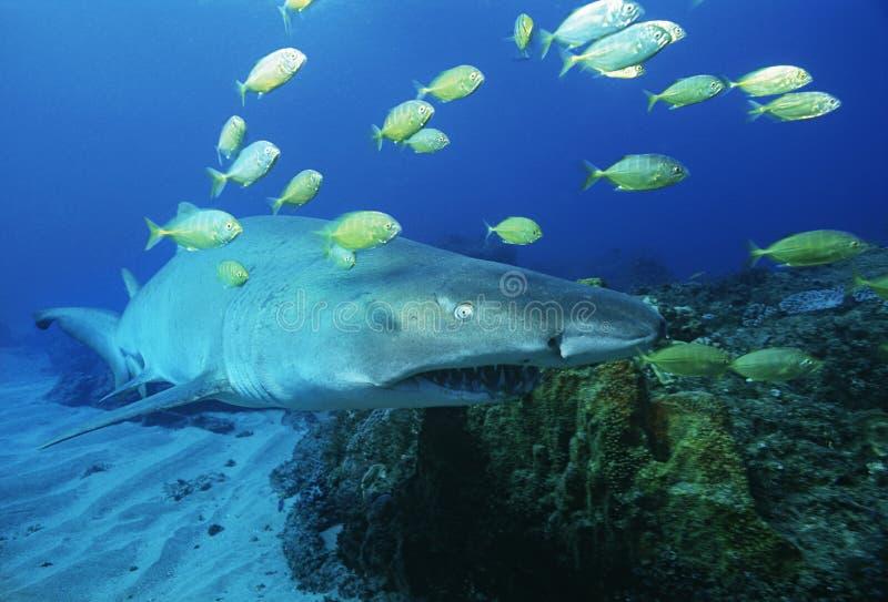 De haai van de het Zandtijger van Indische Oceaan Zuid-Afrika van de Sodwanabaai (carcharias taurus) en gouden trevally (gnathanod royalty-vrije stock afbeeldingen