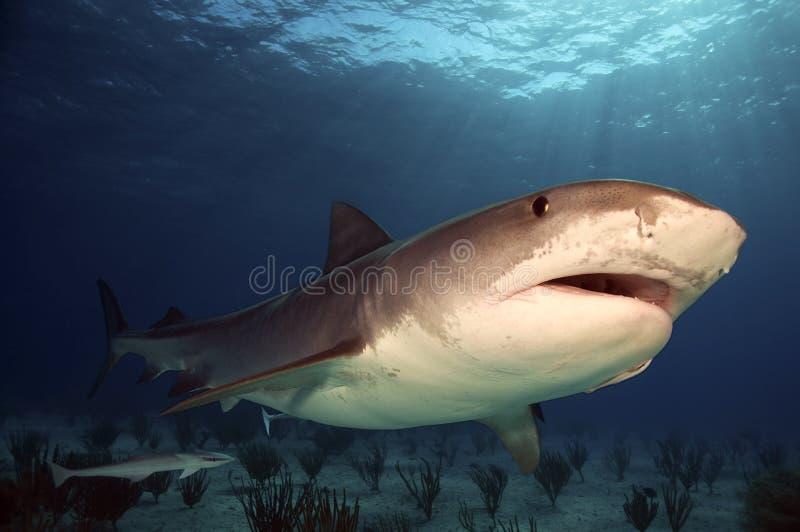 De Haai van de tijger stock afbeelding
