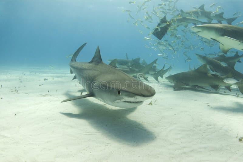 De Haai van de tijger met het Voeden van Citroenen royalty-vrije stock afbeelding