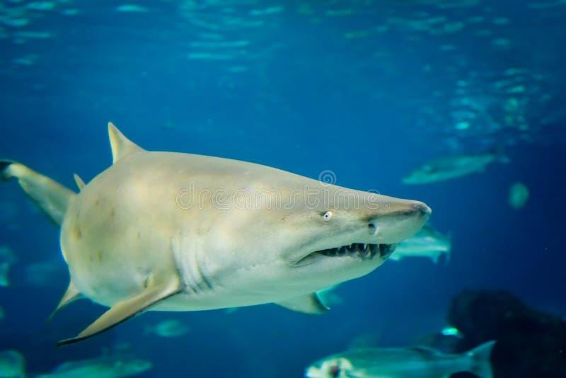 De haai van de zandtijger (Carcharias taurus) royalty-vrije stock foto