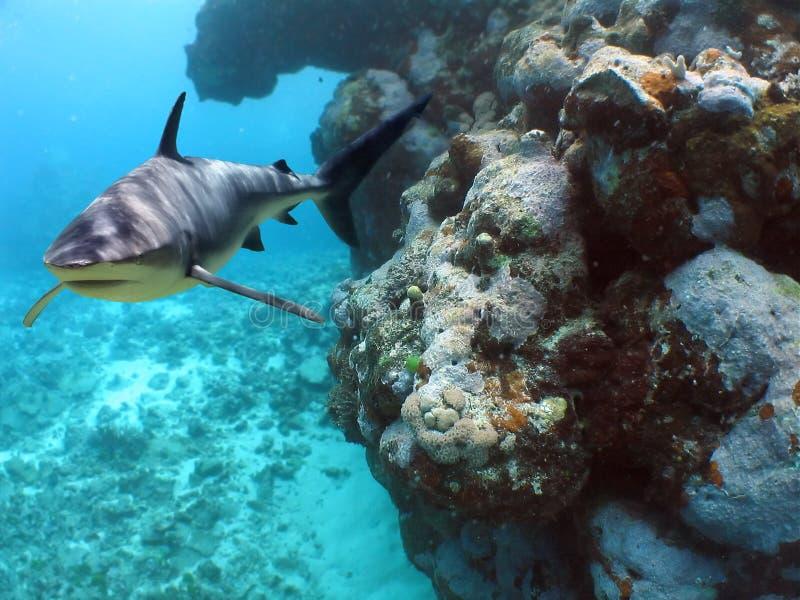 De Haai van het koraal stock afbeeldingen
