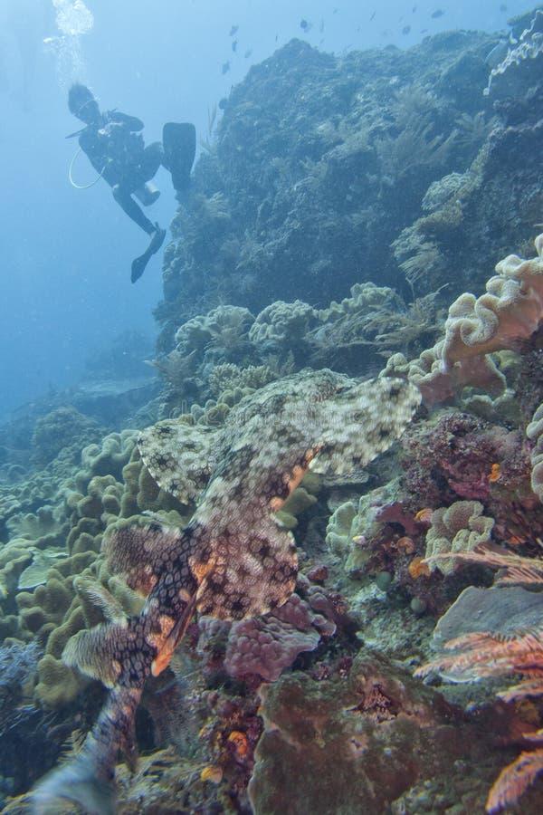 De haai van het Wobbegongtapijt stock afbeelding