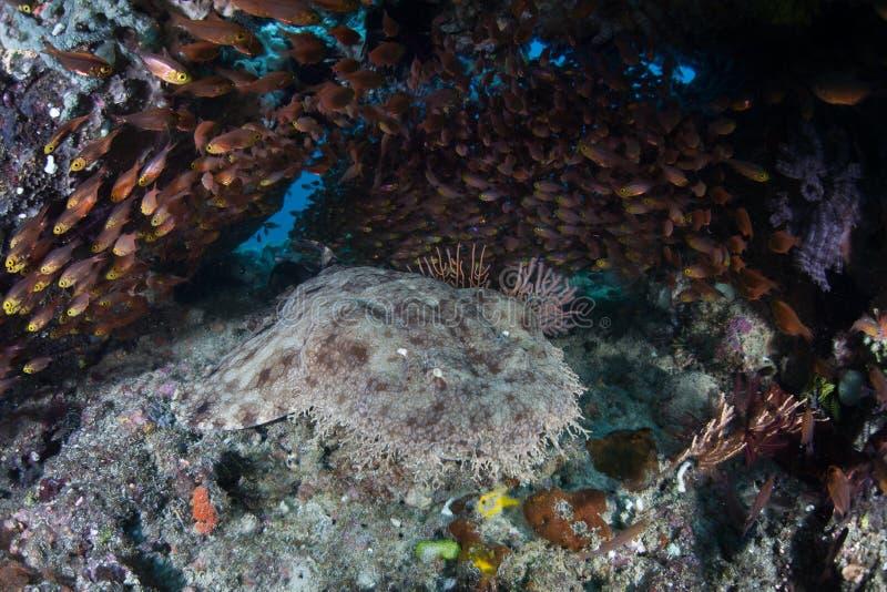 De haai van Tasseled wobbegong royalty-vrije stock foto's