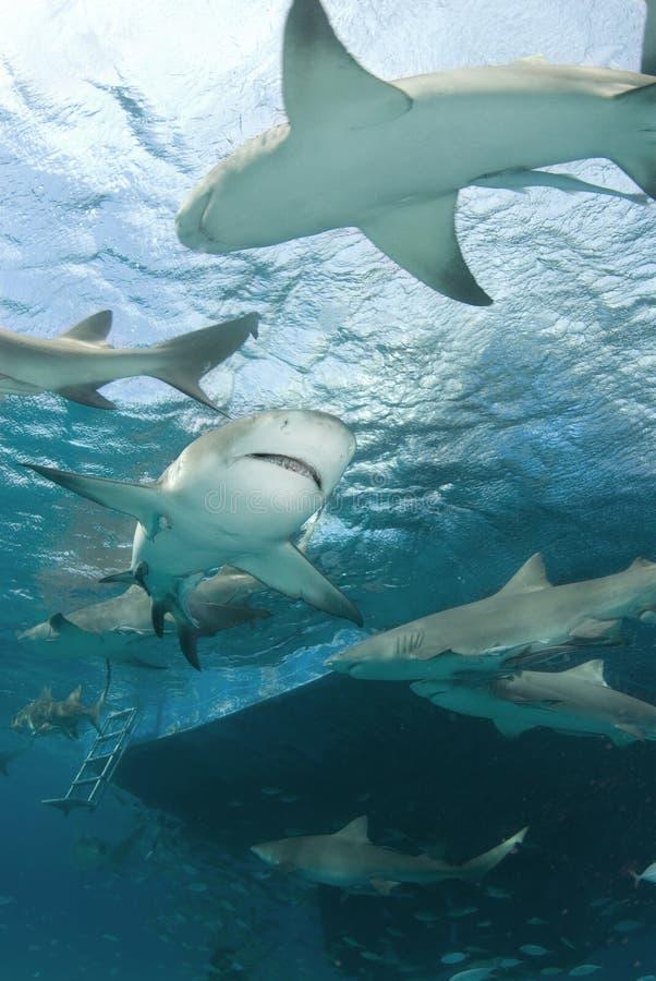 De Haaien van de citroen achter Boot stock foto