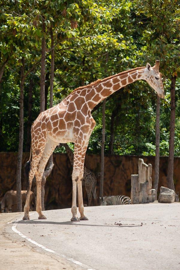 De habitat van een giraf wordt gewoonlijk gevonden in Afrikaanse savannas, weiden of open bossen stock afbeelding