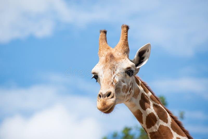 De habitat van een giraf wordt gewoonlijk gevonden in Afrikaanse savannas, weiden of open bossen stock afbeeldingen
