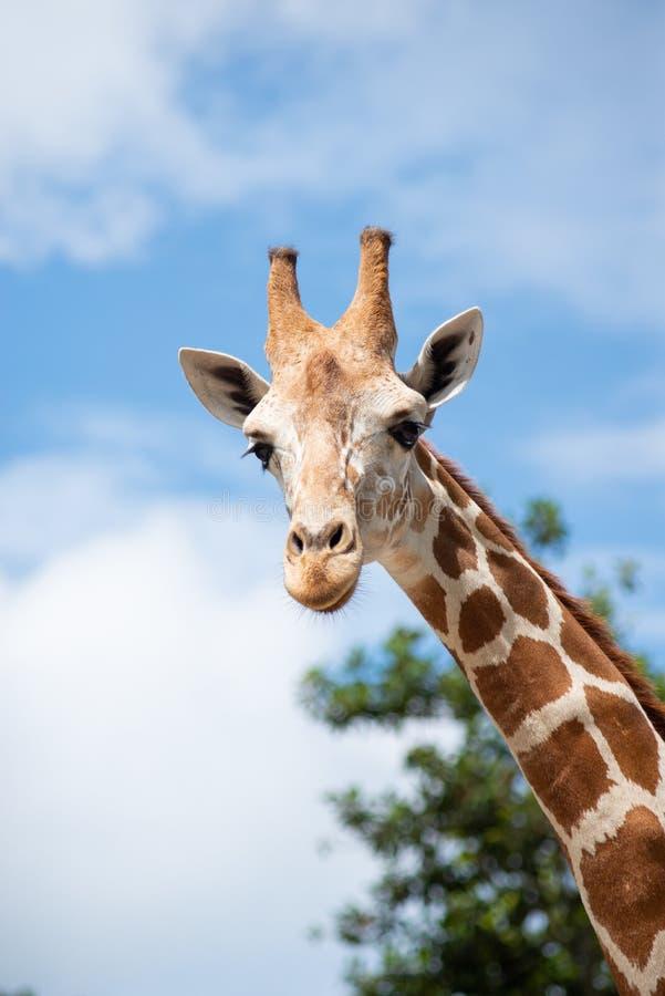 De habitat van de giraf royalty-vrije stock fotografie