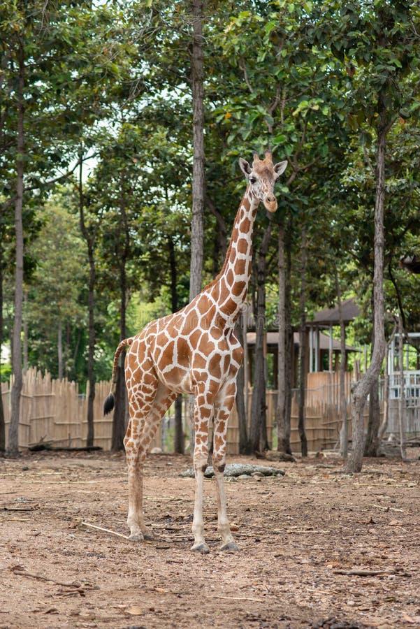 De habitat van de giraf stock foto's
