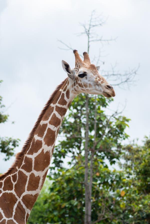 De habitat van de giraf stock afbeeldingen