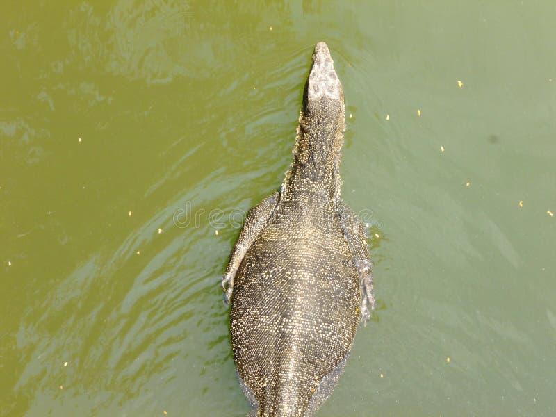 De hagedis die van de watermonitor in meer zwemmen royalty-vrije stock foto