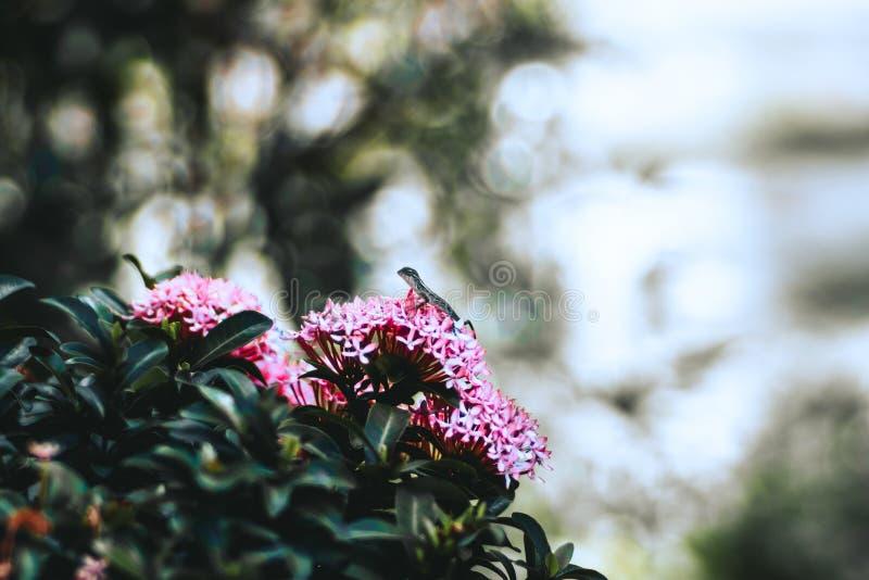 De hagedis of de gekko bevroor op de roze bloemen stock fotografie