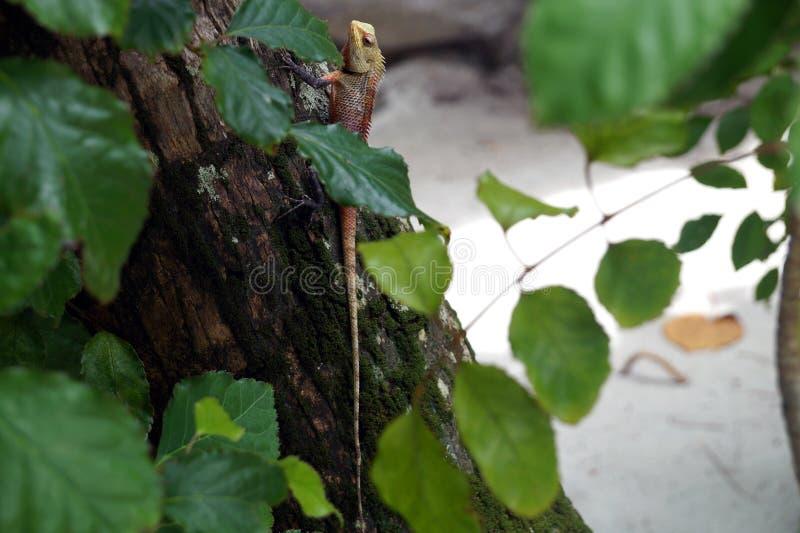 De hagedis op de boom, de Maldiven stock fotografie