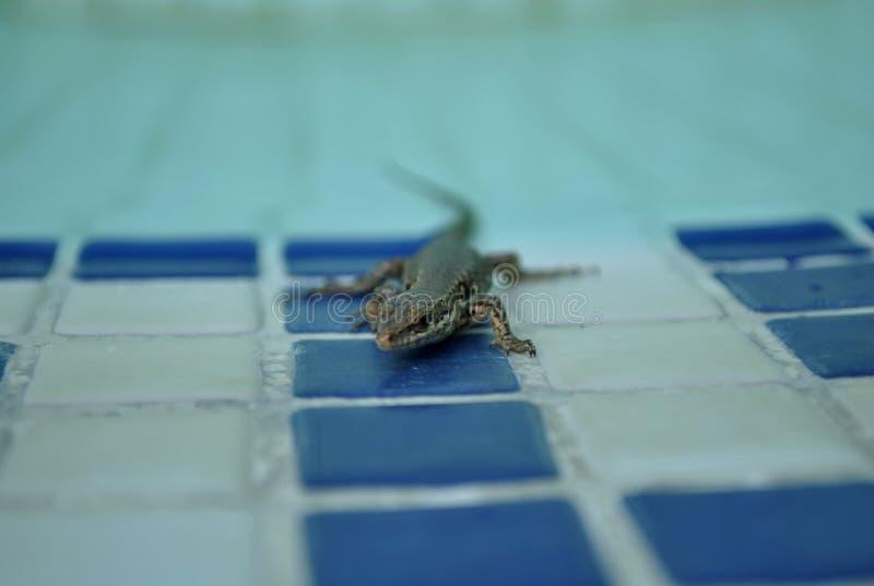De Hagedis in de pool stock fotografie