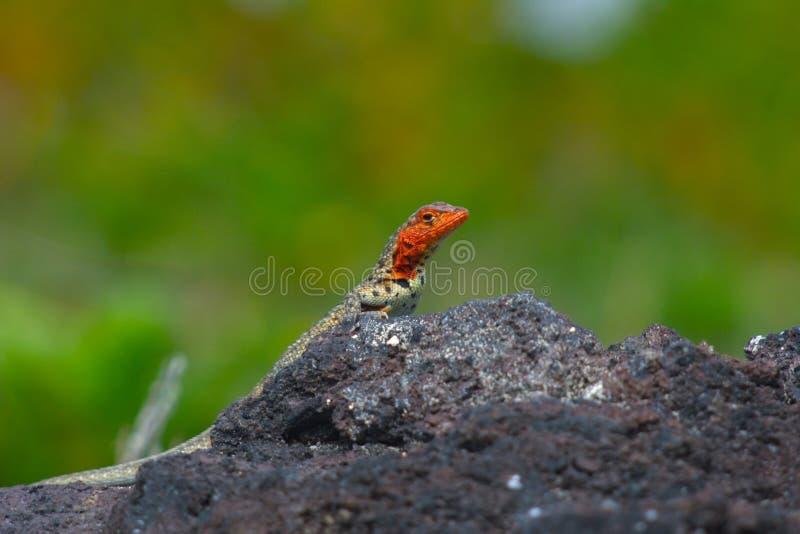 De hagedis van de lava stock afbeelding