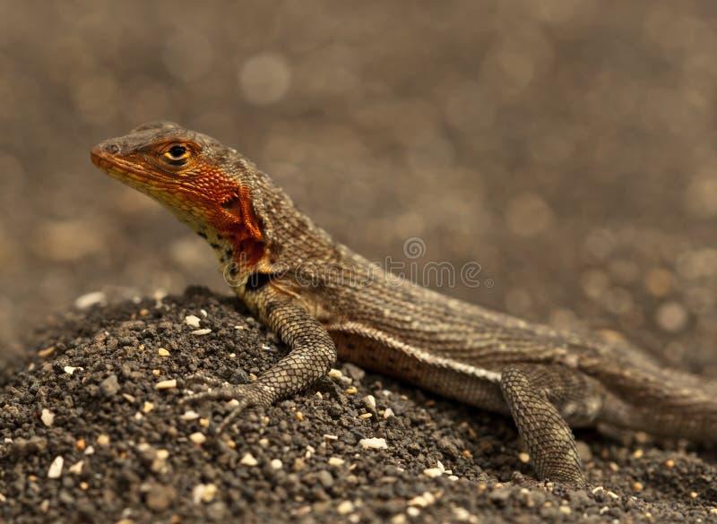 De hagedis van de lava, de Galapagos royalty-vrije stock foto's