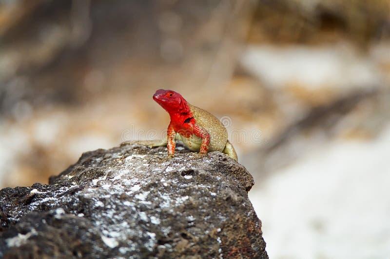 De Hagedis van de Lava van de Galapagos stock afbeelding