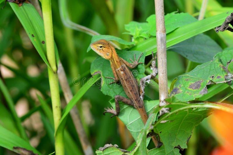 De hagedissen zijn een wijdverspreide groep squamate reptielen, met meer dan 6.000 species stock afbeelding
