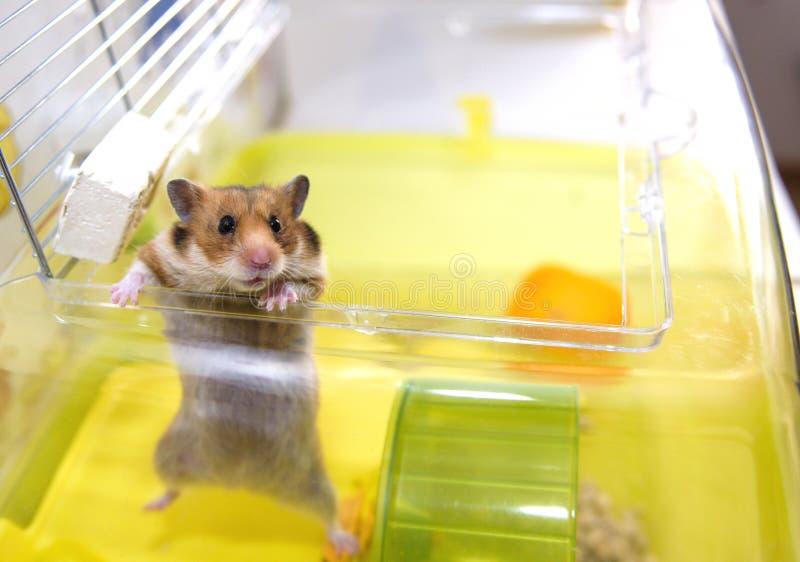 De hamster krijgt uit zijn kooi stock afbeeldingen