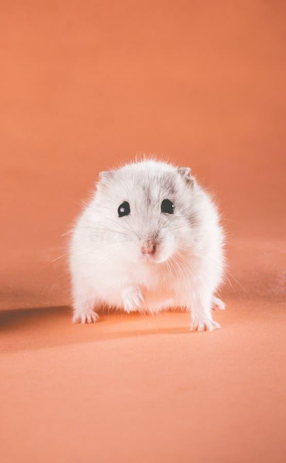 De hamster van foto het leuke Jungar lopen royalty-vrije stock afbeeldingen