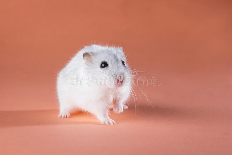 De hamster van foto het leuke Jungar lopen stock foto's