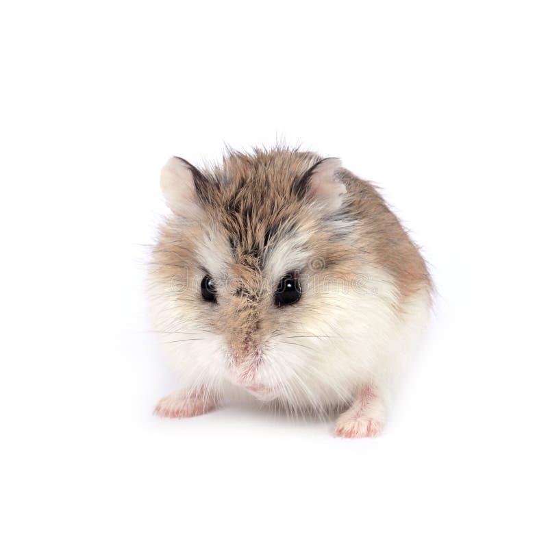 De hamster van Roborovski royalty-vrije stock fotografie