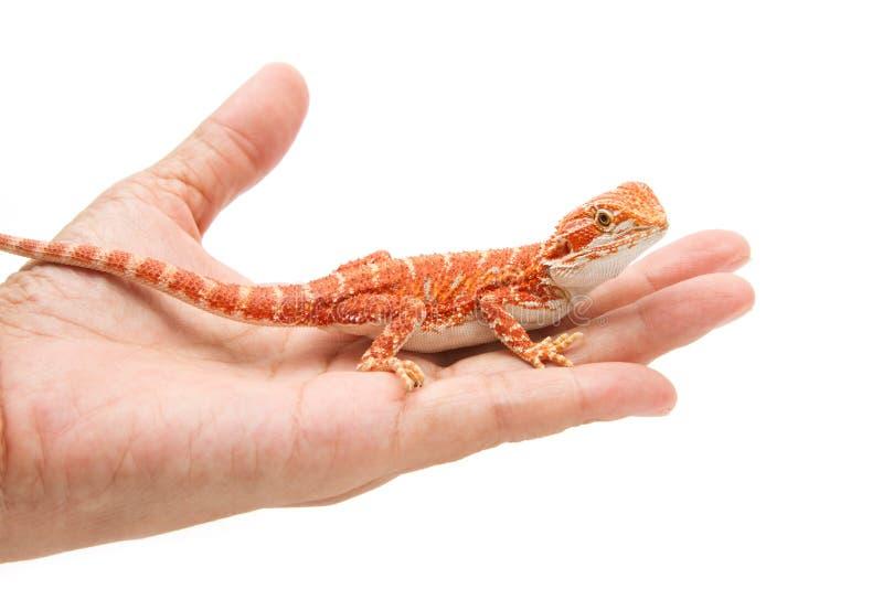 De hand die van de vrouw een gebaarde draak houdt royalty-vrije stock afbeeldingen
