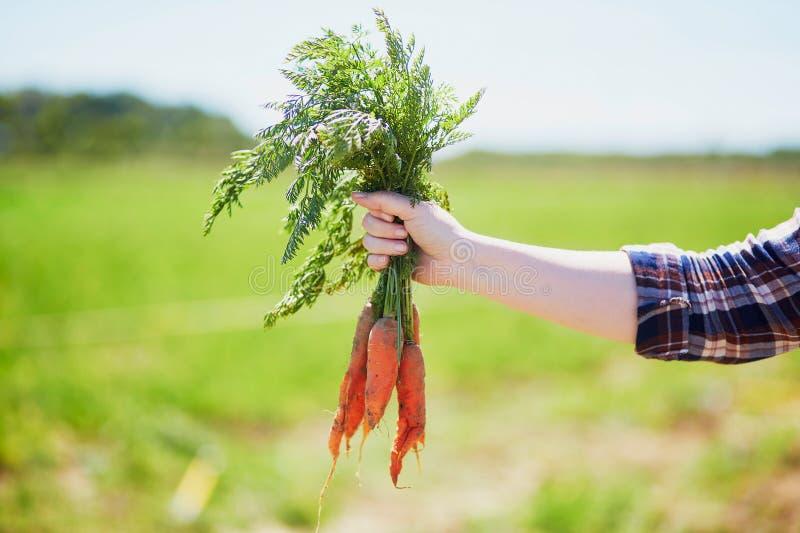 De hand die van de vrouw verse rijpe organische wortelen houden stock foto