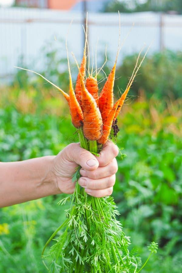 De hand die van het bejaarde ter beschikking wortelen houdt bundelt van de lokale landbouw, organische moestuin met vers product, stock afbeeldingen