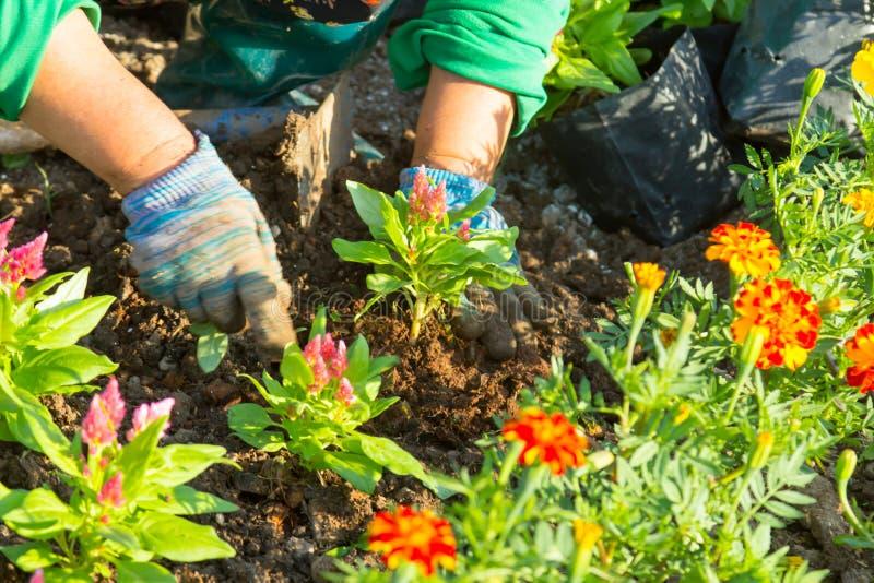 De hand die van de tuinman bloemen in de tuin planten royalty-vrije stock foto