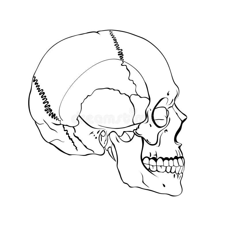 De hand getrokken correcte menselijke schedel van de lijnkunst anatomisch vector illustratie
