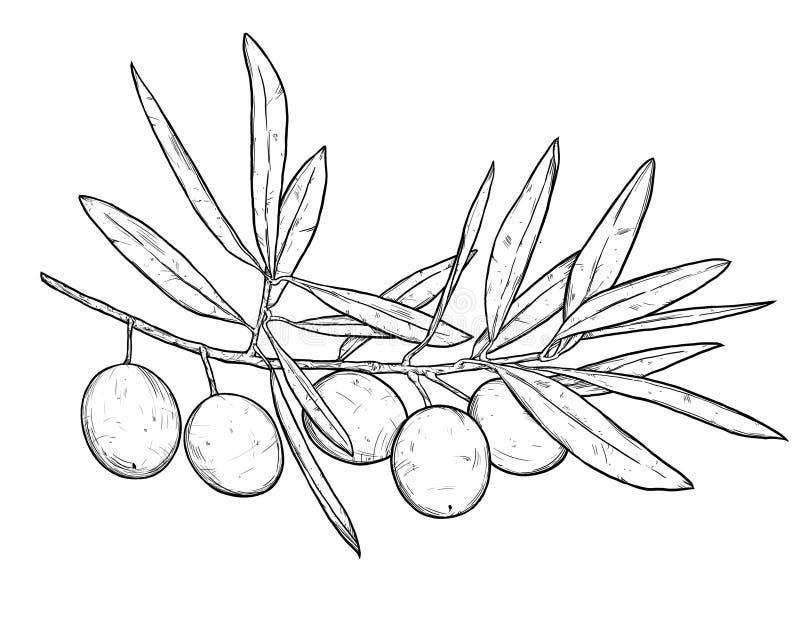 De hand getrokken illustratie van de lijnkunst van olijftak Geïsoleerd op wh royalty-vrije stock afbeeldingen