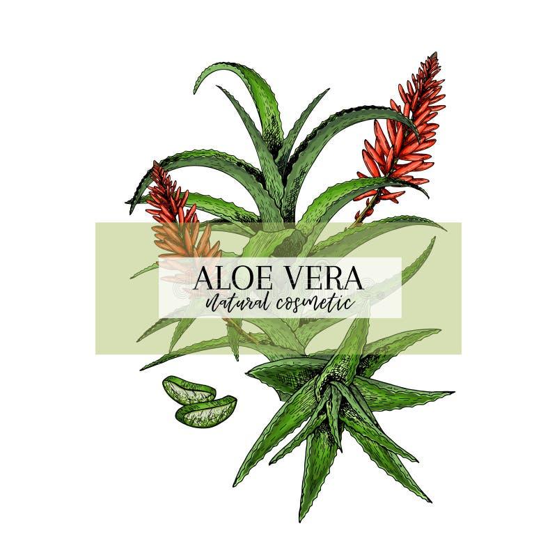 De hand getrokken tak en de bloem van aloëvera Gegraveerde vectorbanner Het bevochtigen en het helen Aromatherapy voedselingredië vector illustratie