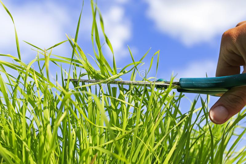 De hand houdt het hulpmiddel de scherpe schaar het weelderige groene gras in t sneed stock foto